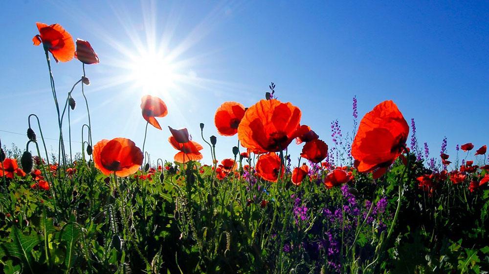 Kräuterwanderung Mohnblume